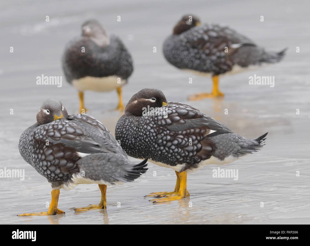 Falkland Steamer Ducks or Loggers (Tachyeres brachypterus) on the beach at  Carcass Island. . Carcass Island, Falkland Stock Photo