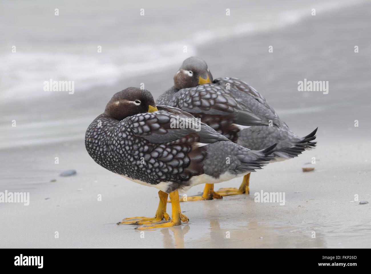 Falkland Steamer Ducks or Loggers (Tachyeres brachypterus) on the beach at  Carcass Island. . Carcass Island, Falkland - Stock Image