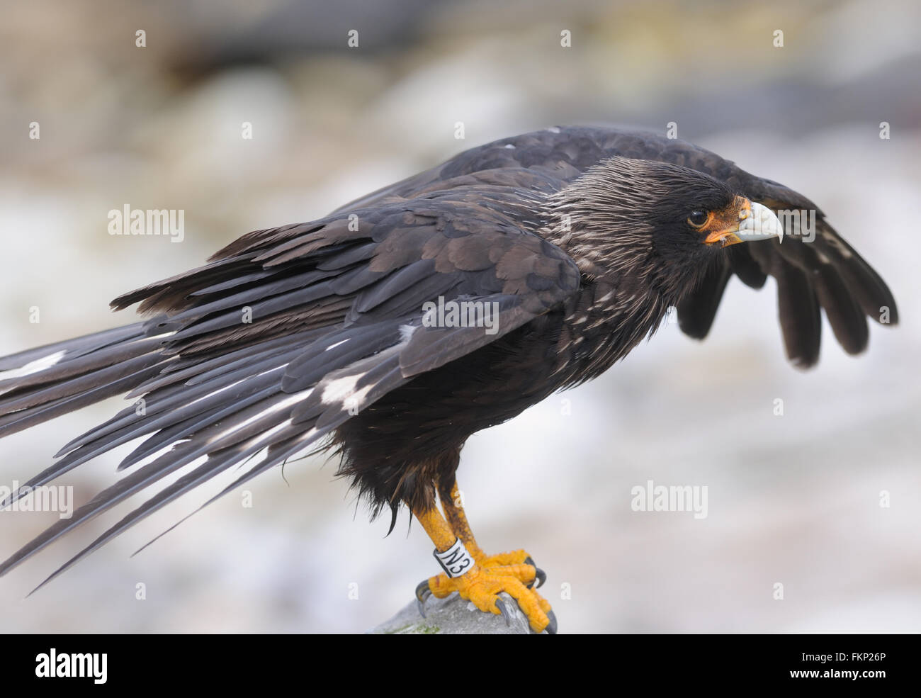 Striated Caracara (Phalcoboenus albogularis). These scavengers are, known locally as Johnny Rooks. Carcass Island - Stock Image