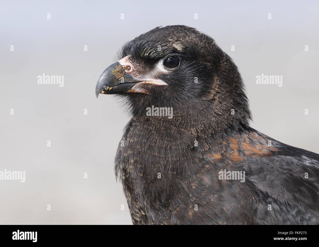 Portrait  of a Striated Caracara (Phalcoboenus albogularis). These scavengers are, known locally as Johnny Rooks. - Stock Image