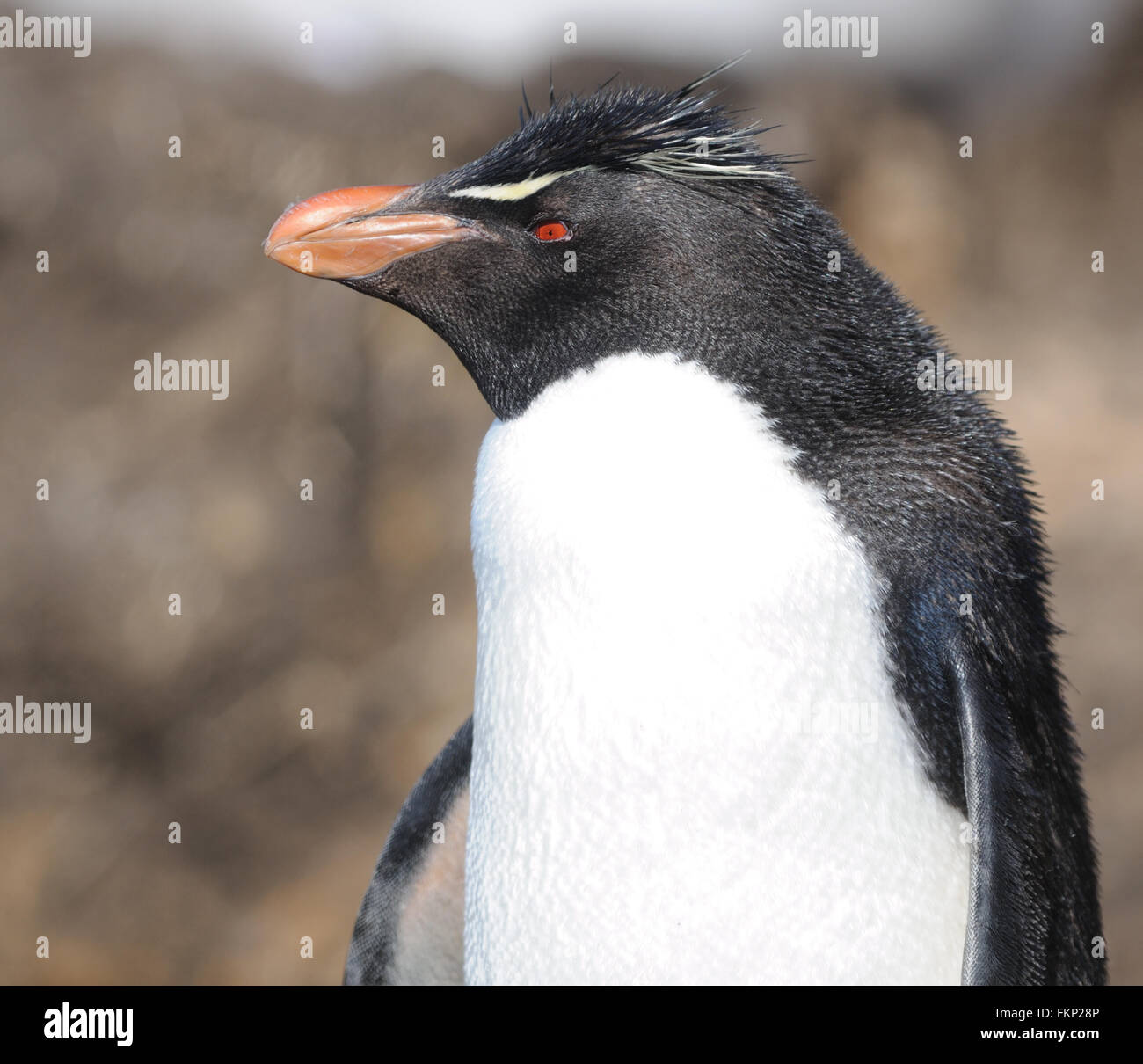 Southern rockhopper penguin, Eudyptes (chrysocome) chrysocome at the nesting colony on Saunders Island. Falkland - Stock Image