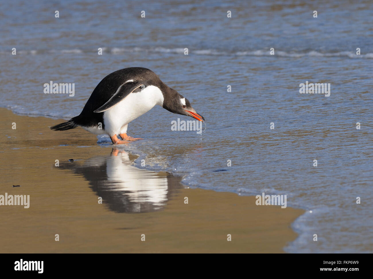 Long-tailed gentoo penguin  (Pygoscelis papua) enter the sea near their nesting colony on Saunders Island. Falkland - Stock Image