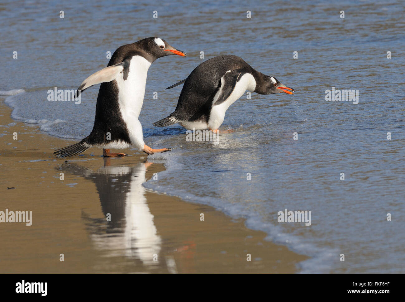 Two Long-tailed gentoo penguin  (Pygoscelis papua) enter the sea near their nesting colony on Saunders Island. Falkland - Stock Image