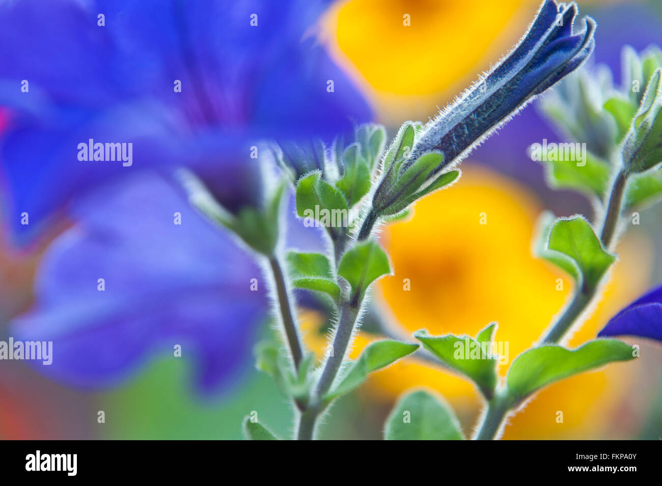 Very close view on Petunias in seasonal hanging basket - Stock Image