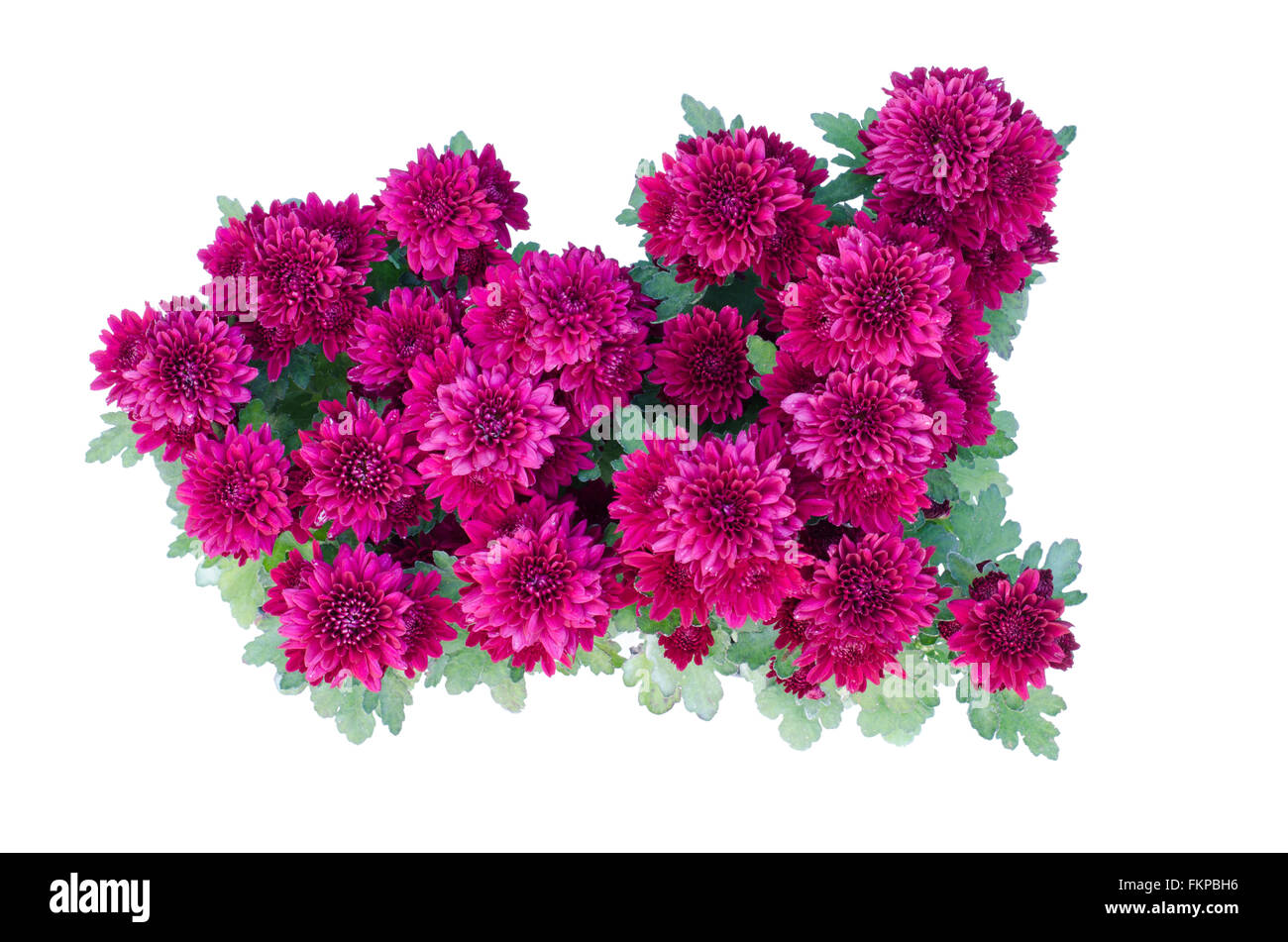 chrysanthemum isolated on white background - Stock Image