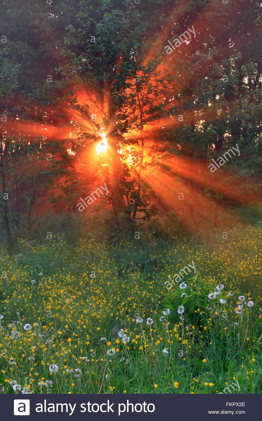 Amazing forest with blooming dandelions in the morning sun Stock Photo