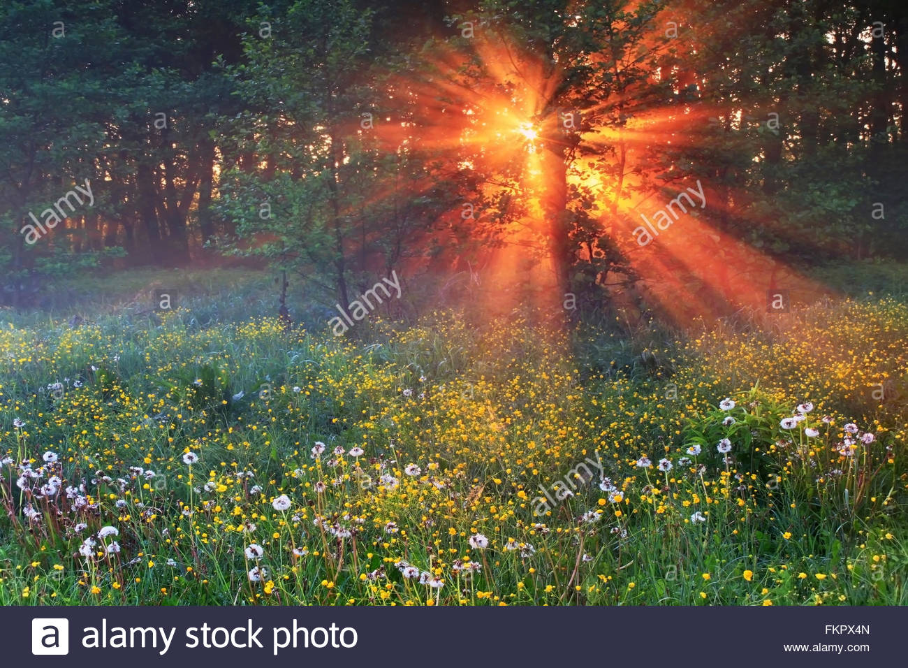 Amazing forest with blooming dandelions in the morning sun - Stock Image