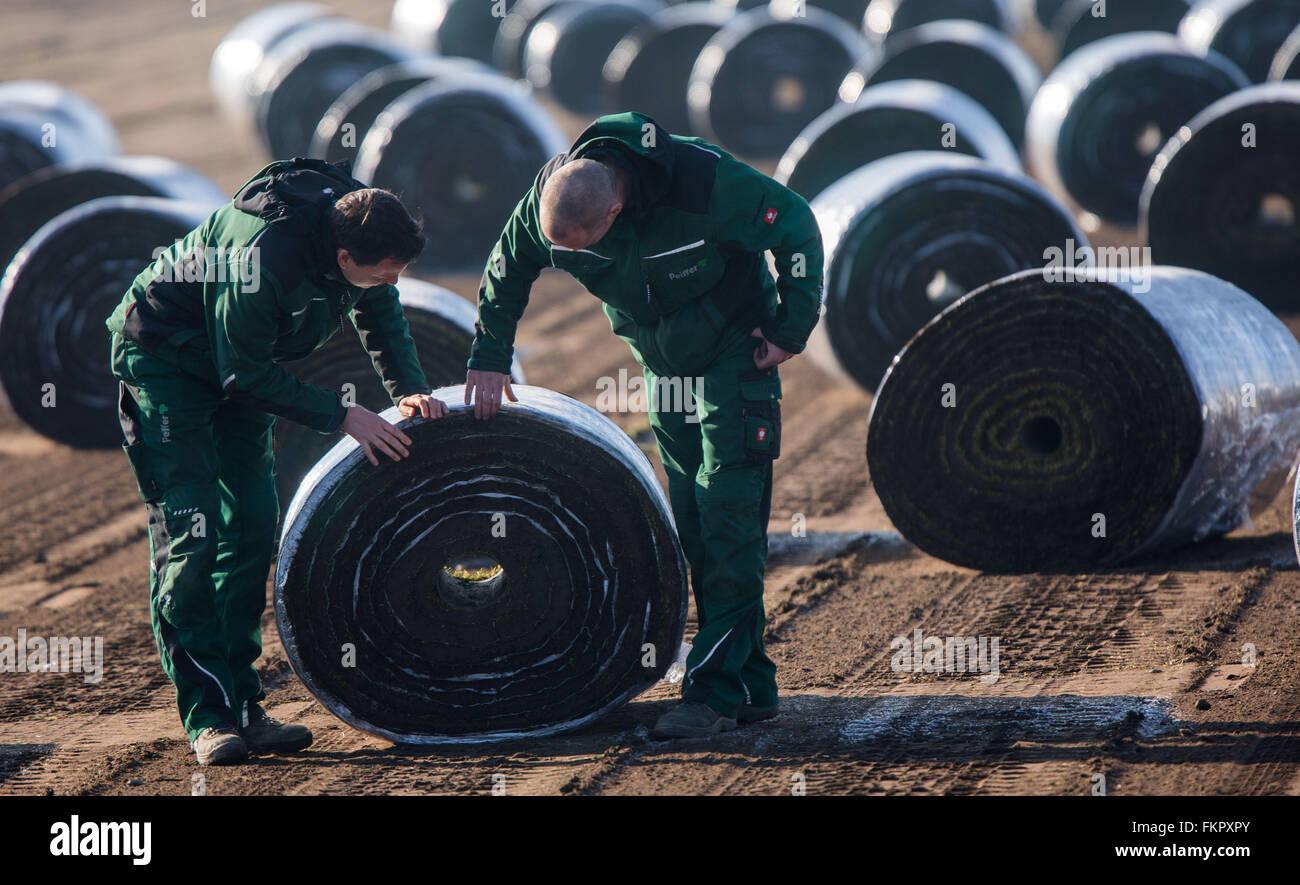 Alt Zachun, Germany. 8th Mar, 2016. Staff members examine rolled up sod lawns after harvesting near Alt Zachun, - Stock Image