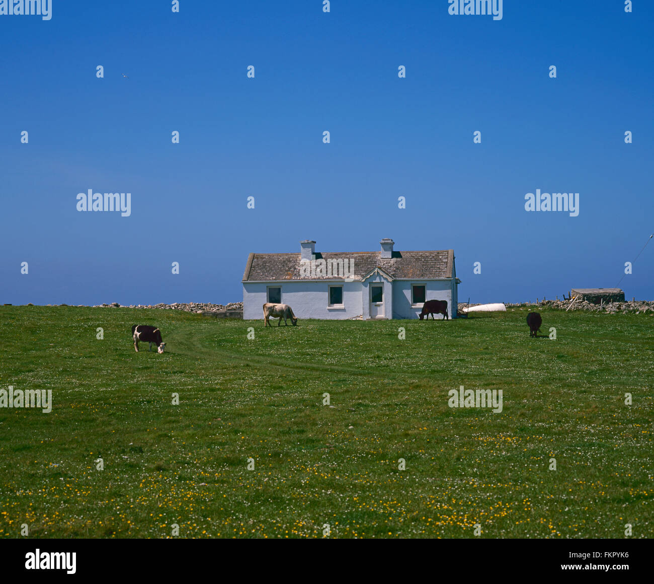 cattle grazing in front of cottage, Belmullet, Co Mayo, West coast of Ireland, Ireland - Stock Image