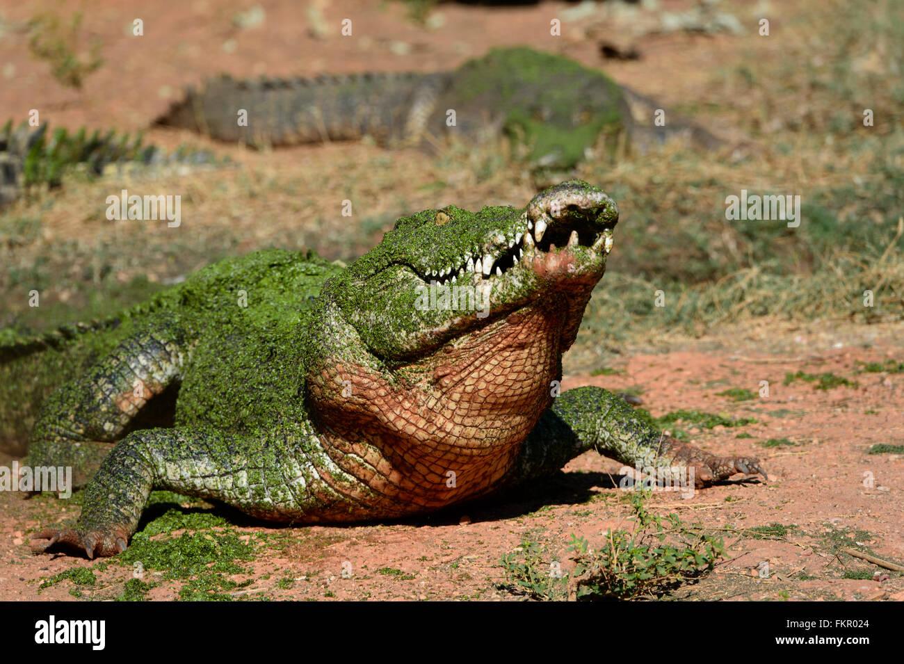 Saltwater Crocodile (Crocodylus porosus), Broome Wildlife Park, Western Australia - Stock Image