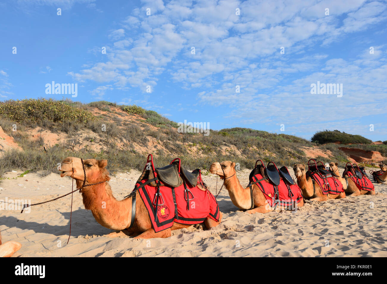 Camels on Cable Beach, Broome, Kimberley Region, Western Australia, WA, Australia - Stock Image