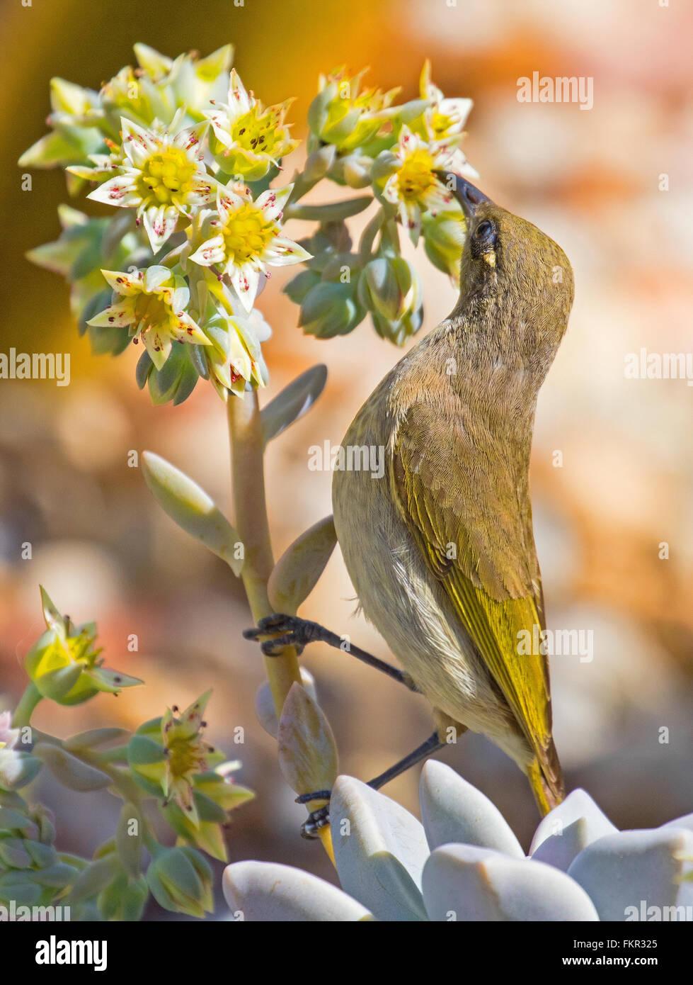 Australian brown honeyeater bird, feeding on nectar from a succulent flower - Stock Image