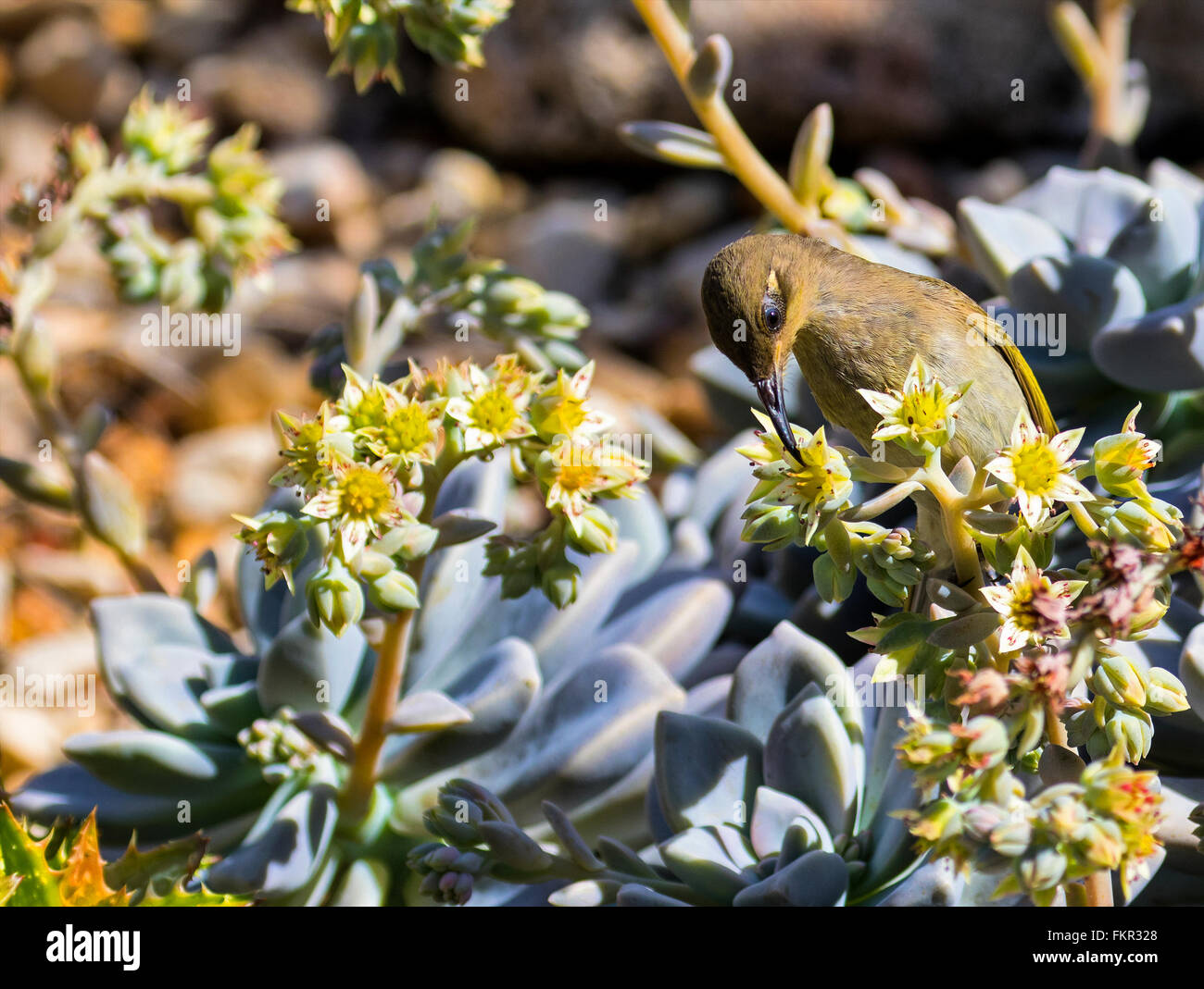 Australian brown honeyeater bird feeding on nectar from a succulent flower - Stock Image