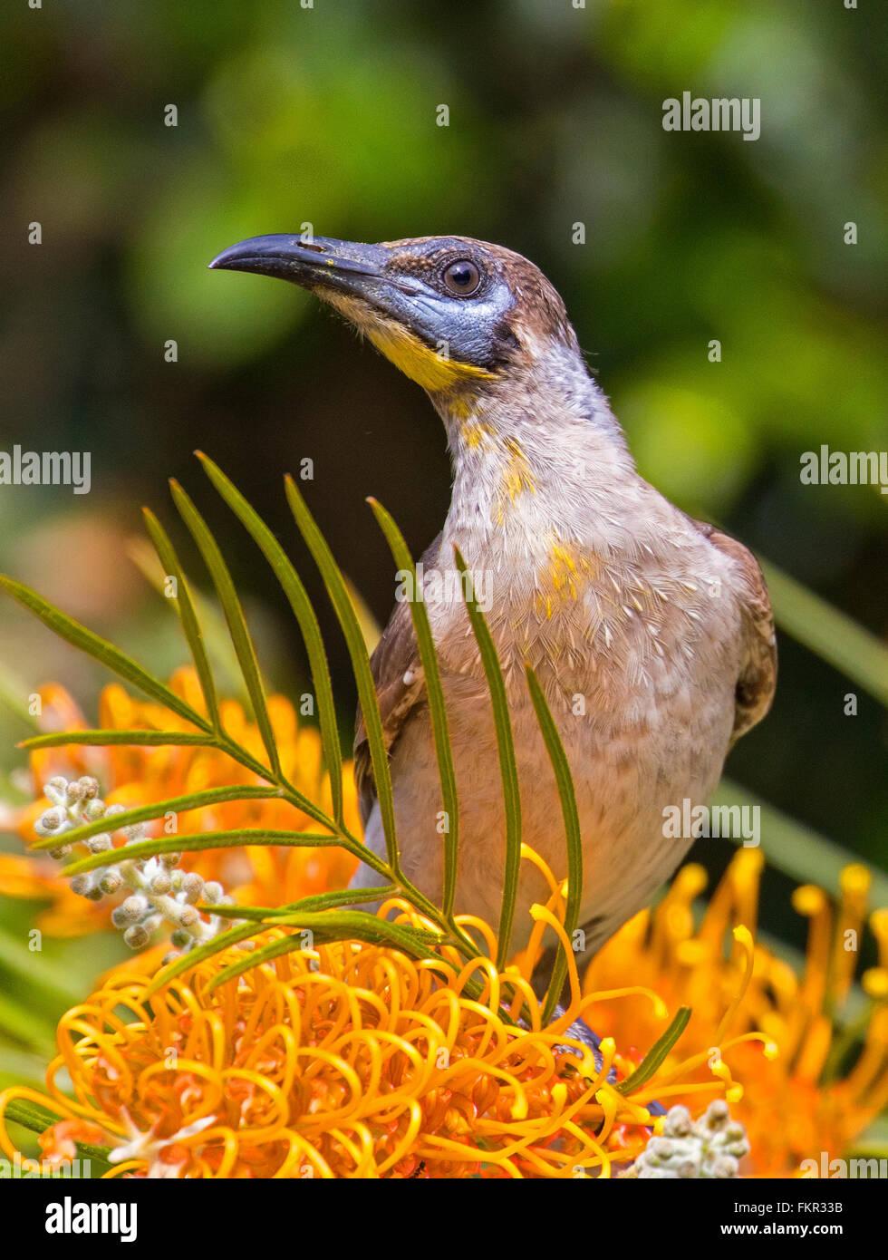 Australian brownHoneyeater, Bird feeding on nectar from a grevillia flower - Stock Image