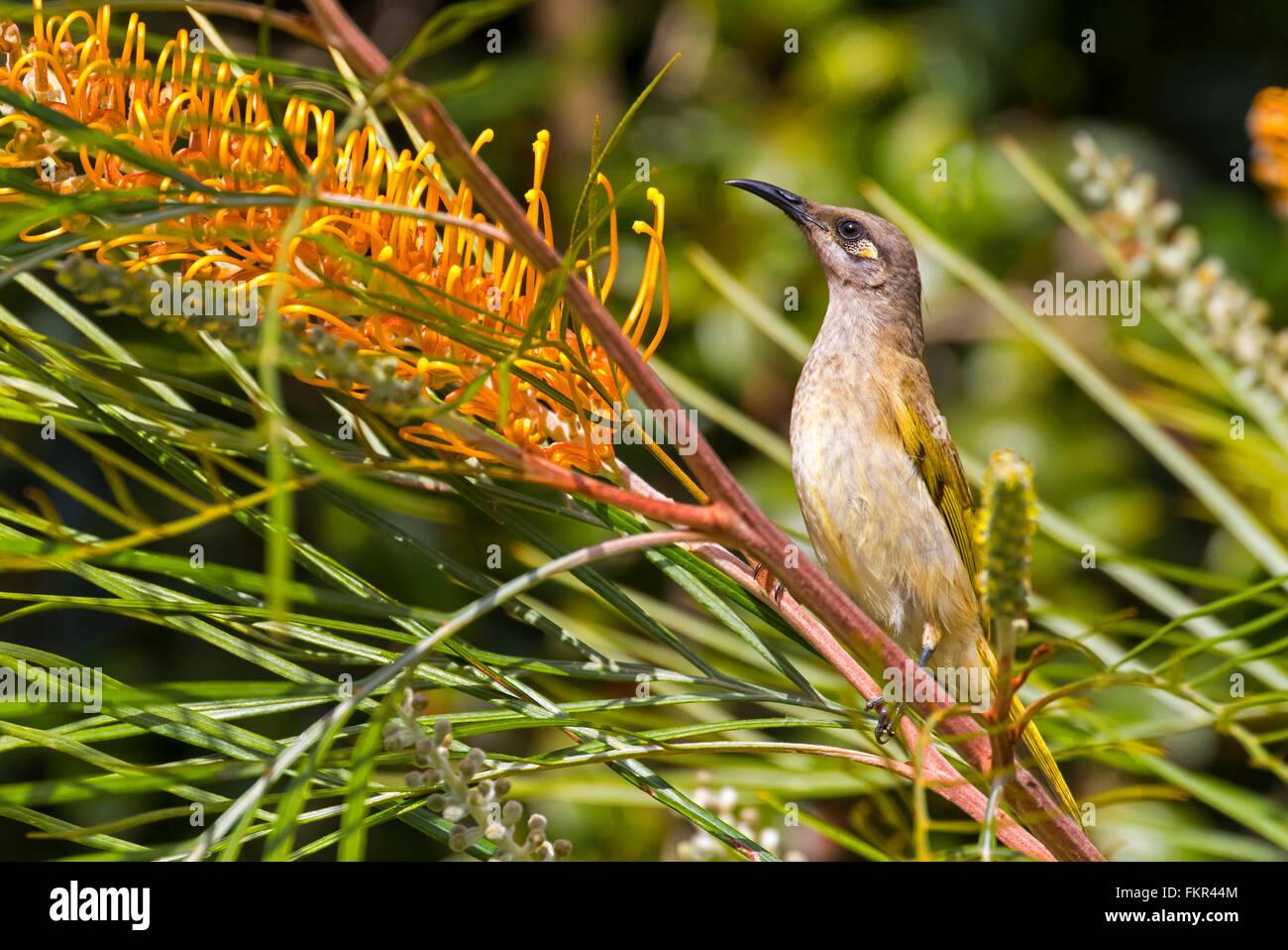 Australian Brown Honeyeater Bird feeding on nectar from Grevillia Flower - Stock Image