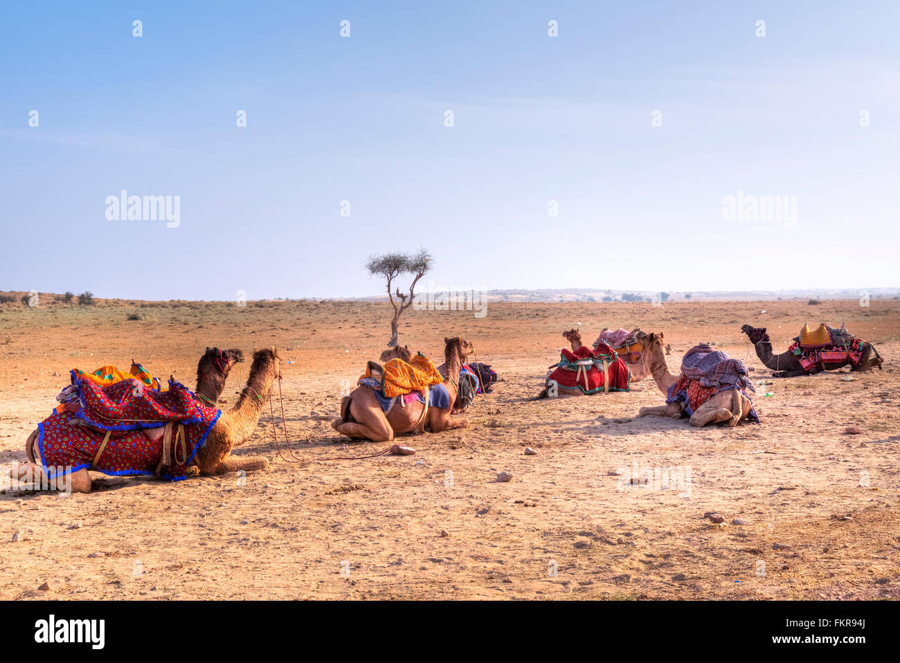 camels of Nomadic people in the Thar desert, Rajasthan, India - Stock Image