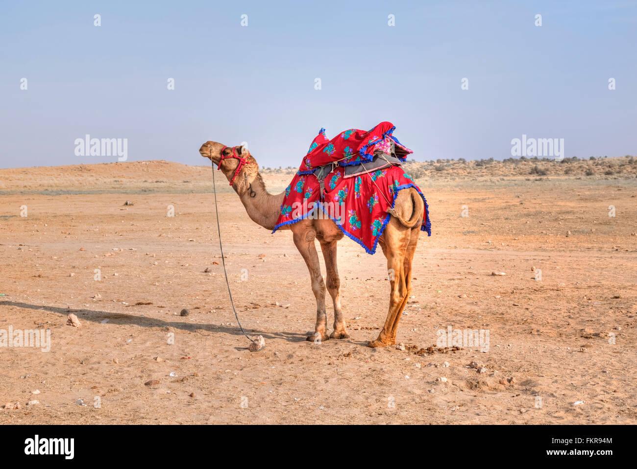camel of Nomadic people in the Thar desert, Rajasthan, India - Stock Image