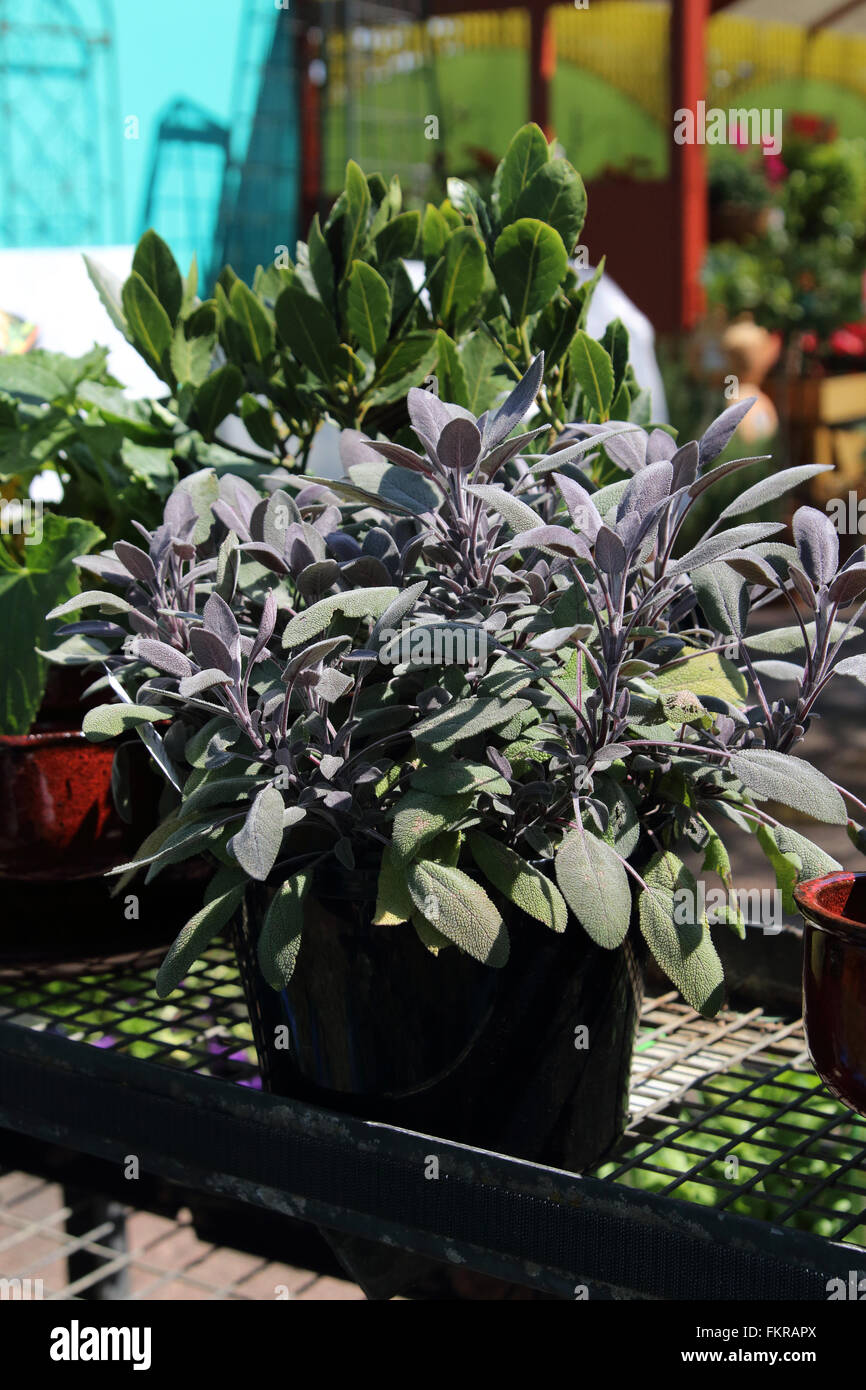 Growing Salvia officinalis Purpurascens or known as Purple Sage in a pot Stock Photo