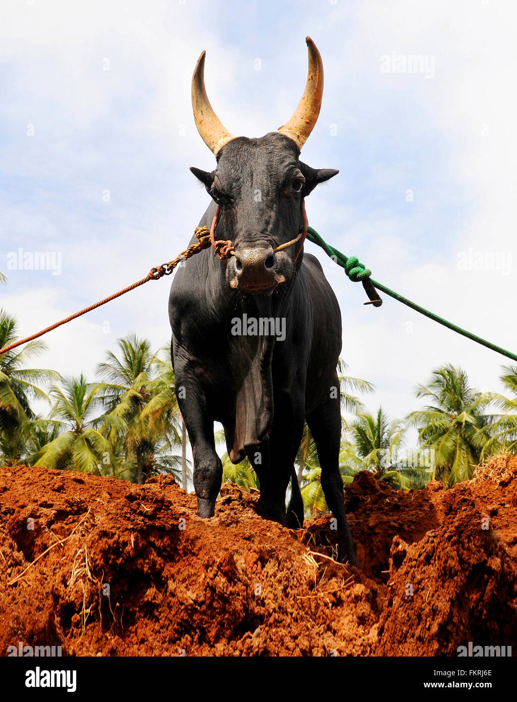 Portrait of a Jallikattu Bull. Bull Fight is held in the villages of Tamil Nadu,India As a part of the harvest festival.Madurai - Stock Image