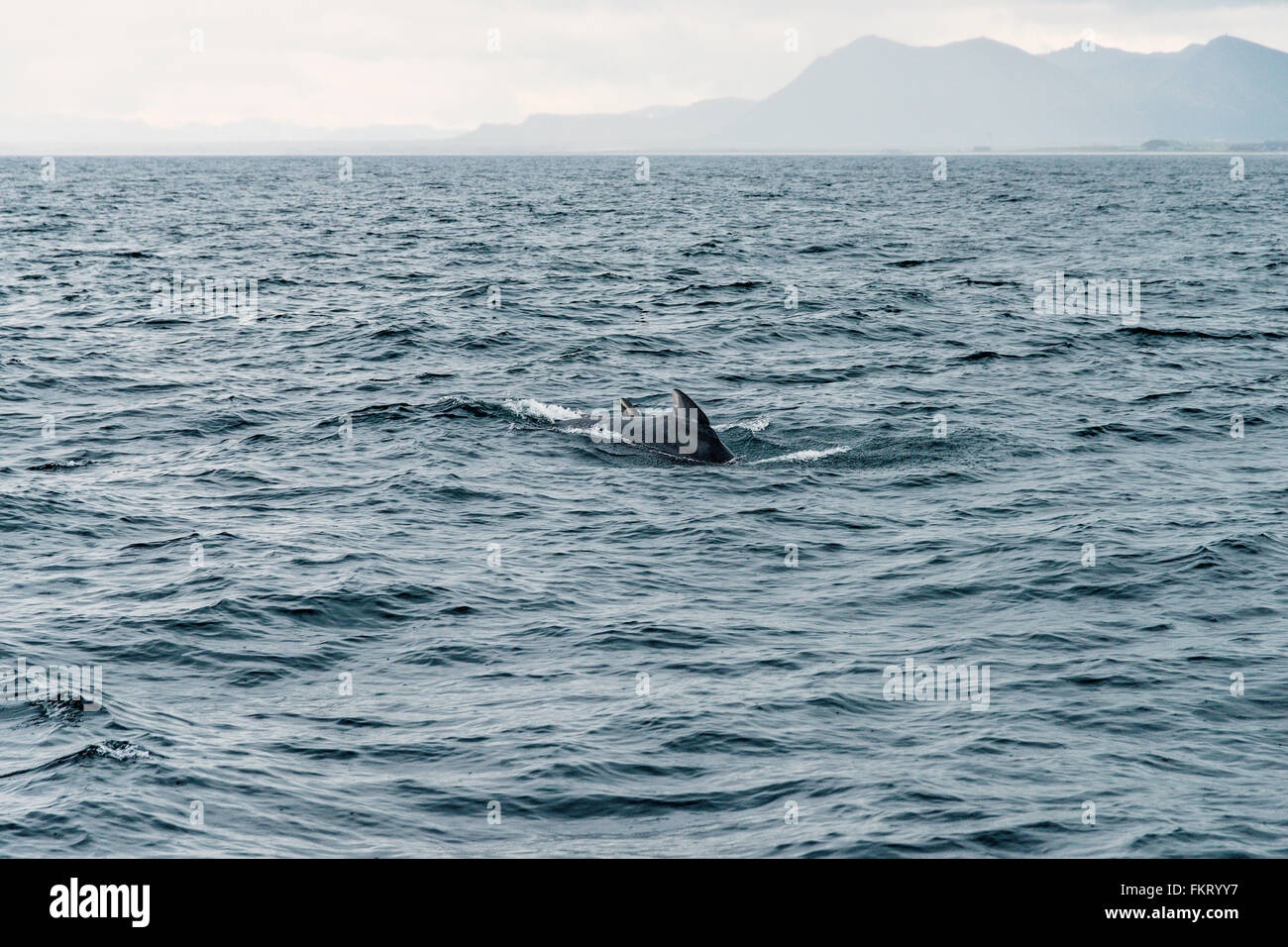 Pilot whales can be spotted on a whale safari. One of the most famous places for whale safaris is Andenes, Lofoten, - Stock Image