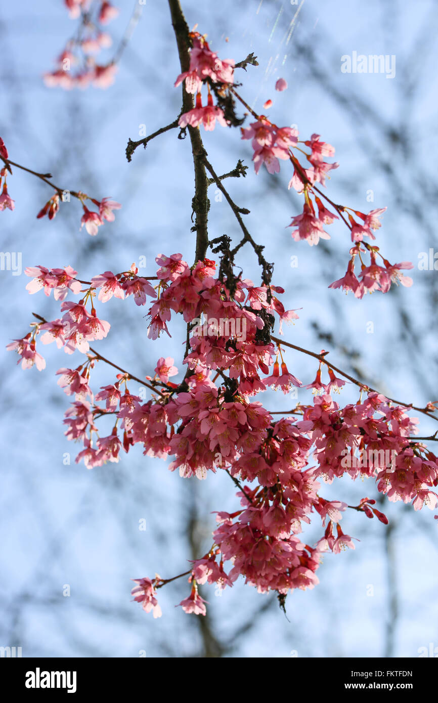 Fresh, blooming tree in spring with pink flowers - Stock Image