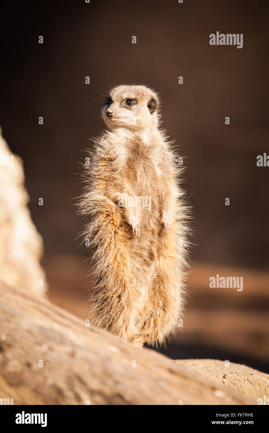 Captive meerkat basks in the winter sun at Twycross Zoo, Warwickshire, UK. Stock Photo