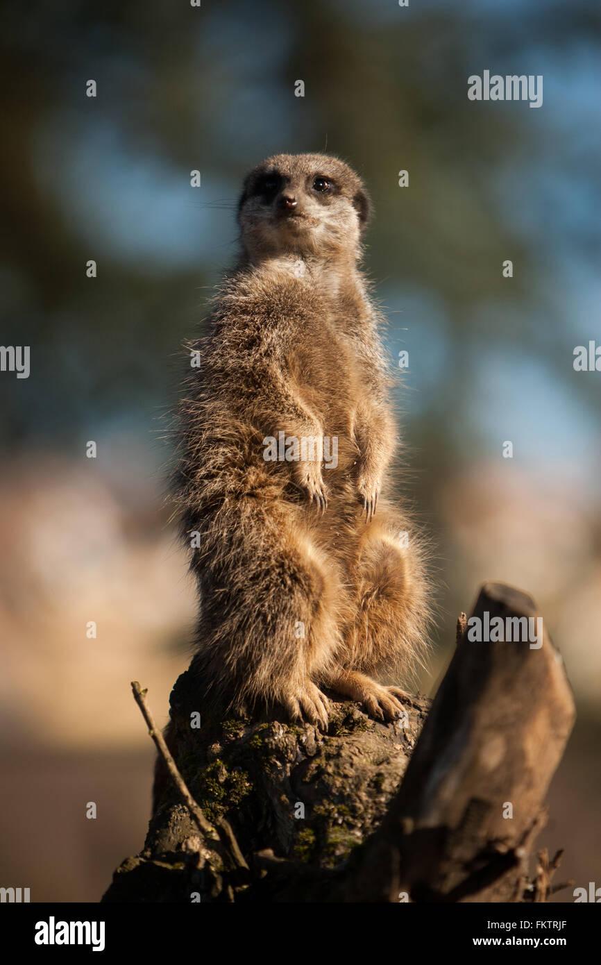 Captive meerkat basks in the winter sun at Twycross Zoo, Warwickshire, UK. - Stock Image