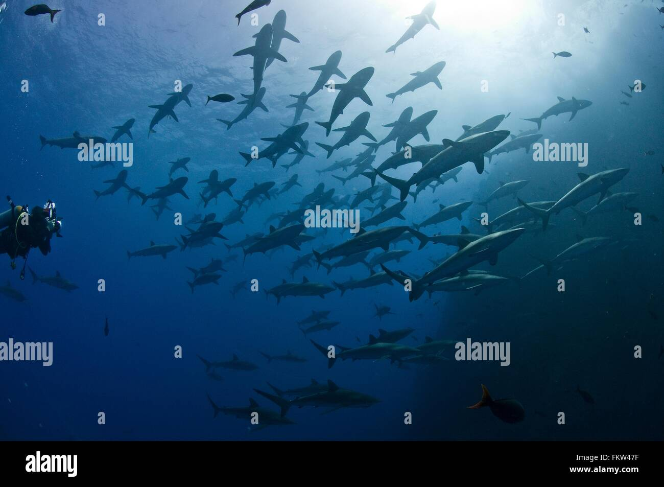 Scuba diver approaching a large school of silky sharks (Carcharhinus falciformis), Roca Partida, Revillagigedo, - Stock Image