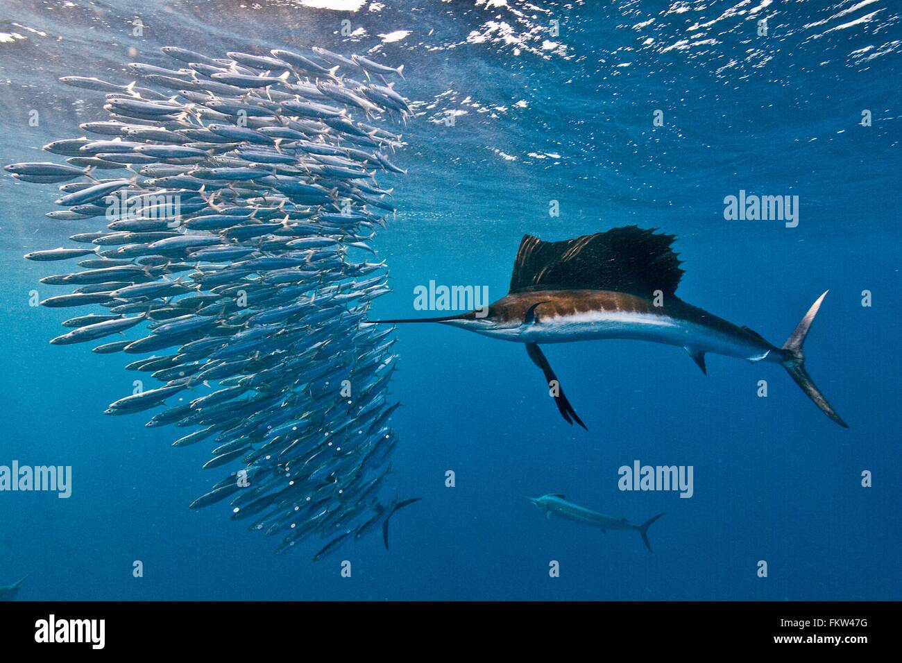 Atlantic sailfish (Istiophorus albicans) attacking a sardine baitball hoping to strike one with its serrated bill - Stock Image