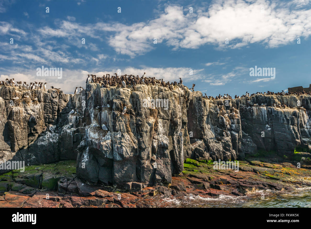 Seabirds including guillemots and kittiwakes nesting on cliffs in the Farne Islands, Northumberland, UK. May Stock Photo