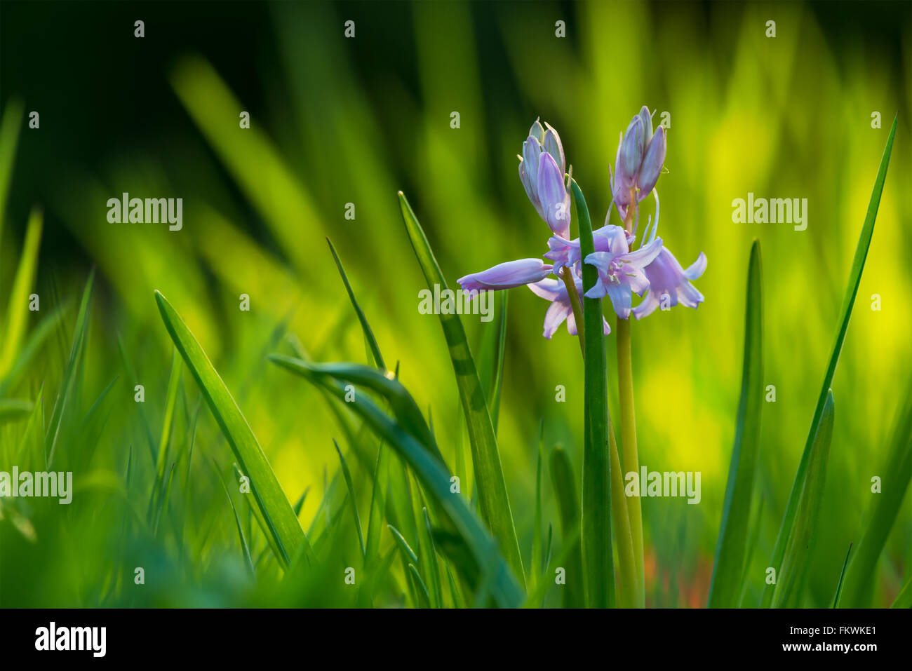 Spanish Bluebell {Hyacinthoides hispanica} in front of long grass, in soft evening sunlight. Spring flowers. North - Stock Image