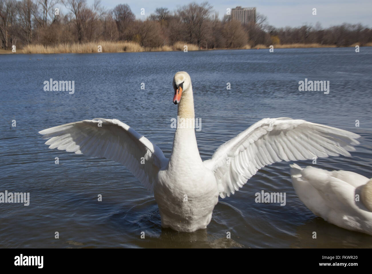 A Swan shows off for the camera, Prospect Park Lake, Brooklyn, NY. - Stock Image