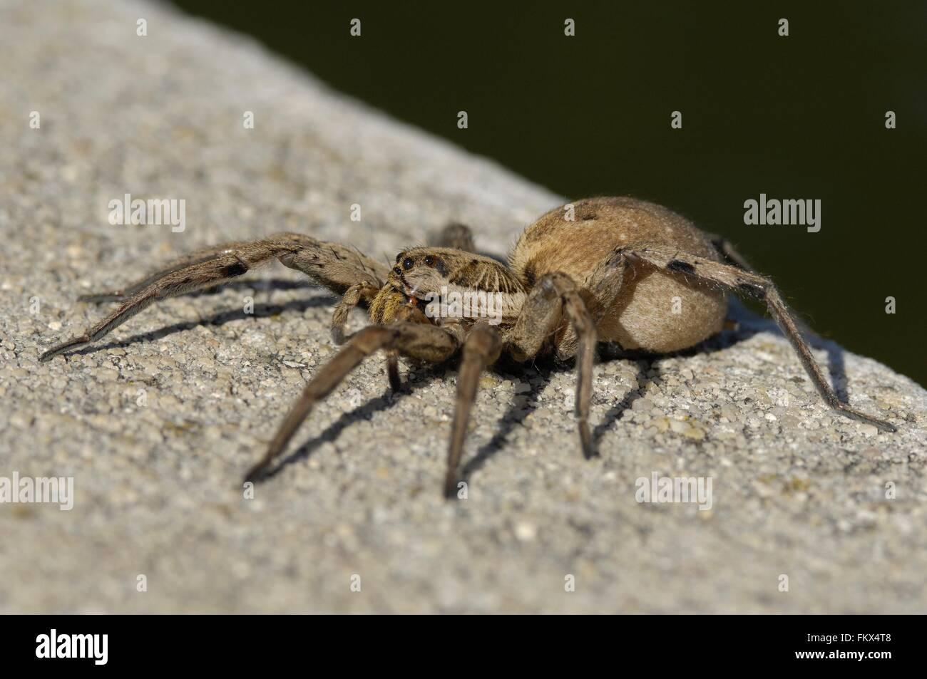 Wolfspider (Hogna radiata) female (body : 3 cm) Provence - France - Stock Image