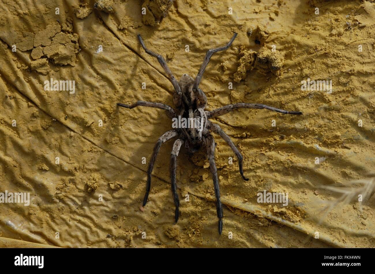 Wolfspider (Hogna radiata) female (body : 2,5 cm) Provence - France - Stock Image