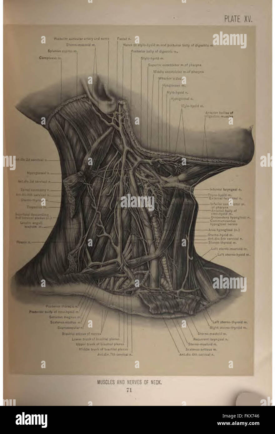 Surgical Anatomy Head Neck Deaver Stock Photos & Surgical Anatomy ...