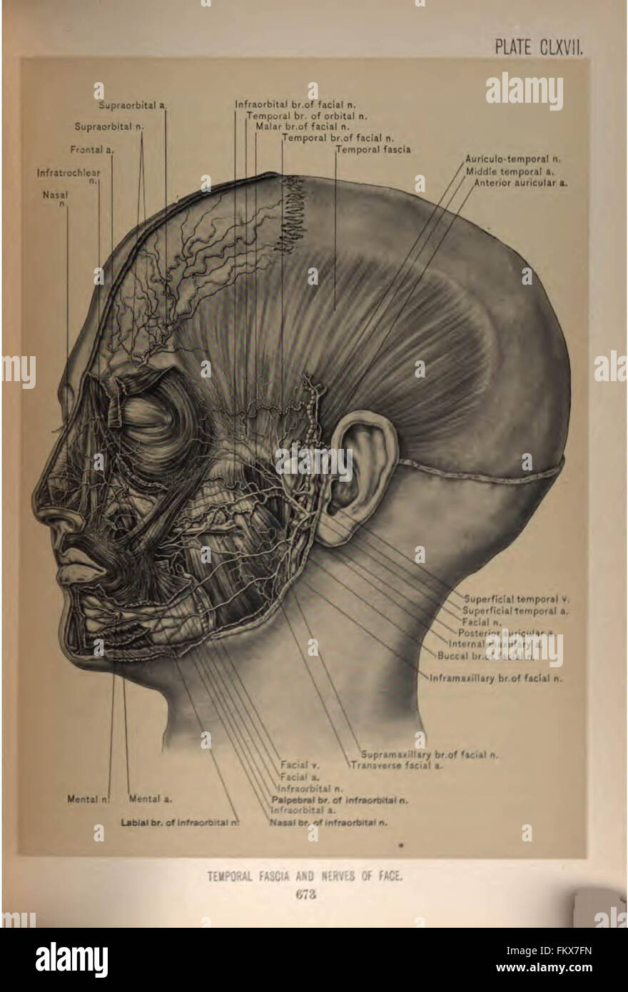Surgical Anatomy Of The Head And Neck By Deaver John B John Stock
