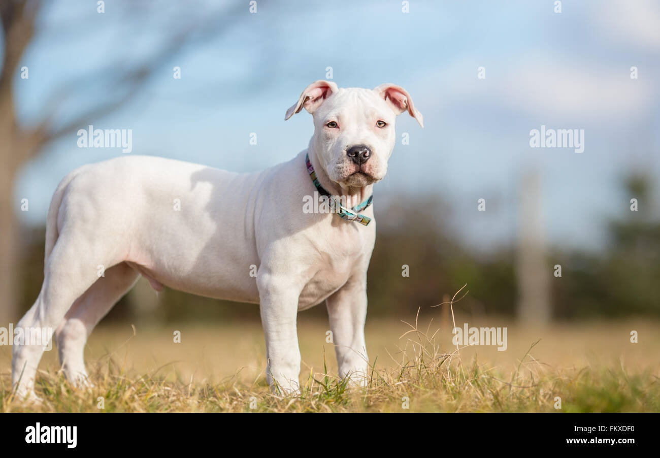 White American Staffordshire terrier puppy standing on grass - Stock Image