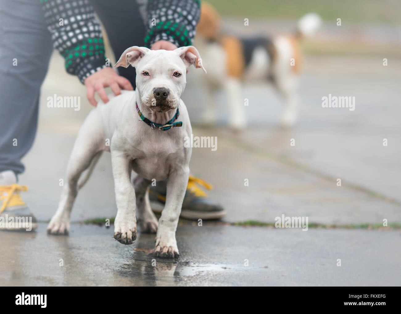 Playing with American staffordshire terrier puppy on rainy day - Stock Image