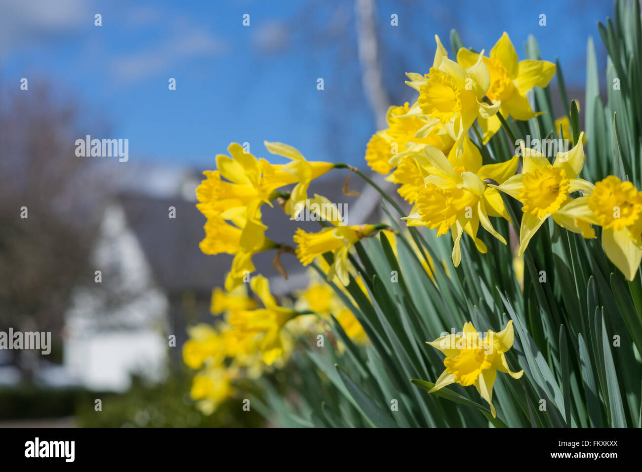 Sunny daffodils pop up against a bright blue sky, with a home burred in the background. - Stock Image