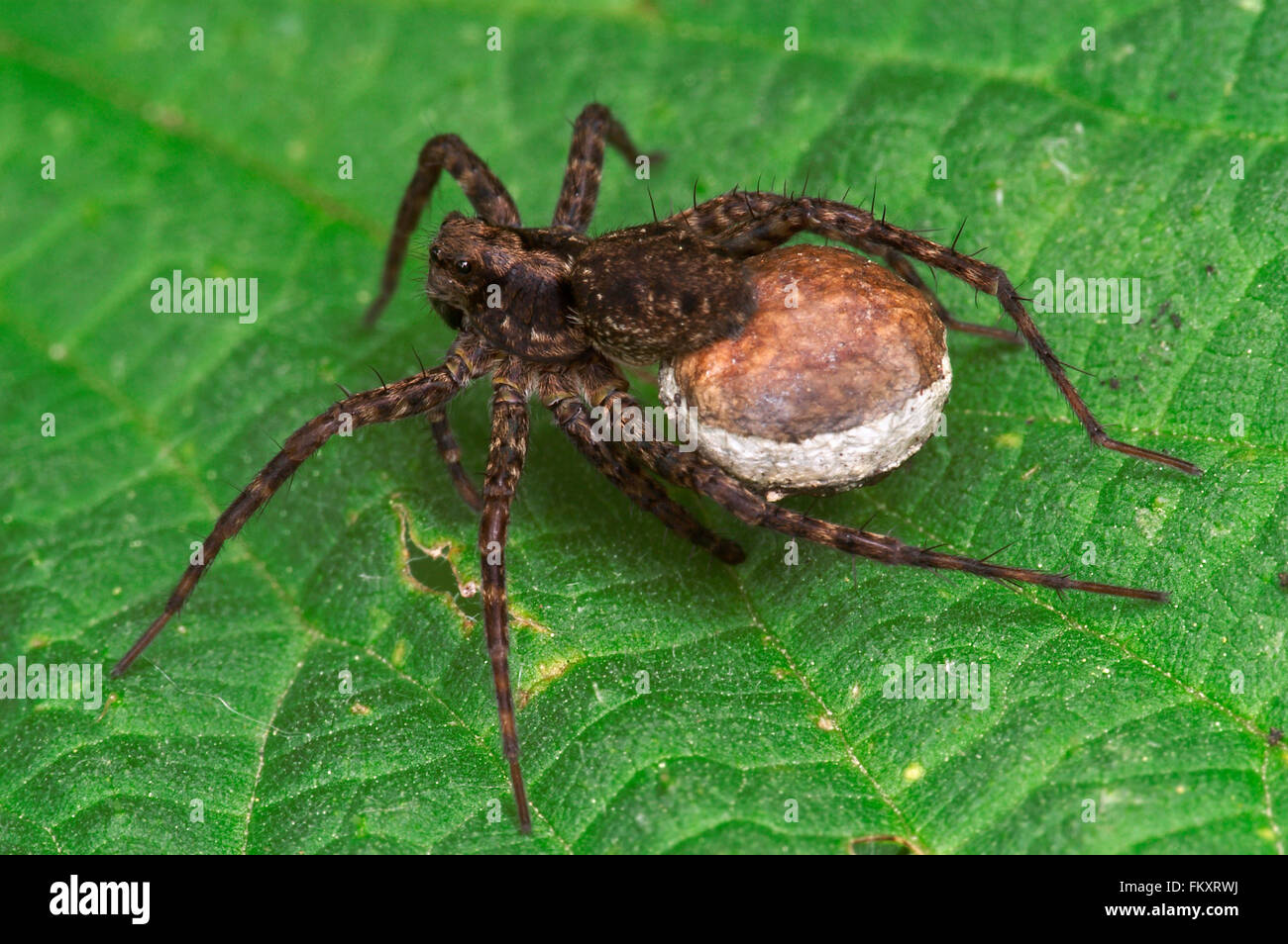 Wolf spider / spotted wolf spider (Pardosa amentata) female carrying egg sac - Stock Image