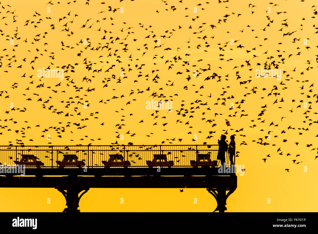 Aberystwyth Wales UK, Thursday 10 March 2016   UK weather:s As the sun sets, flocks of thousands of tiny starlings - Stock Image