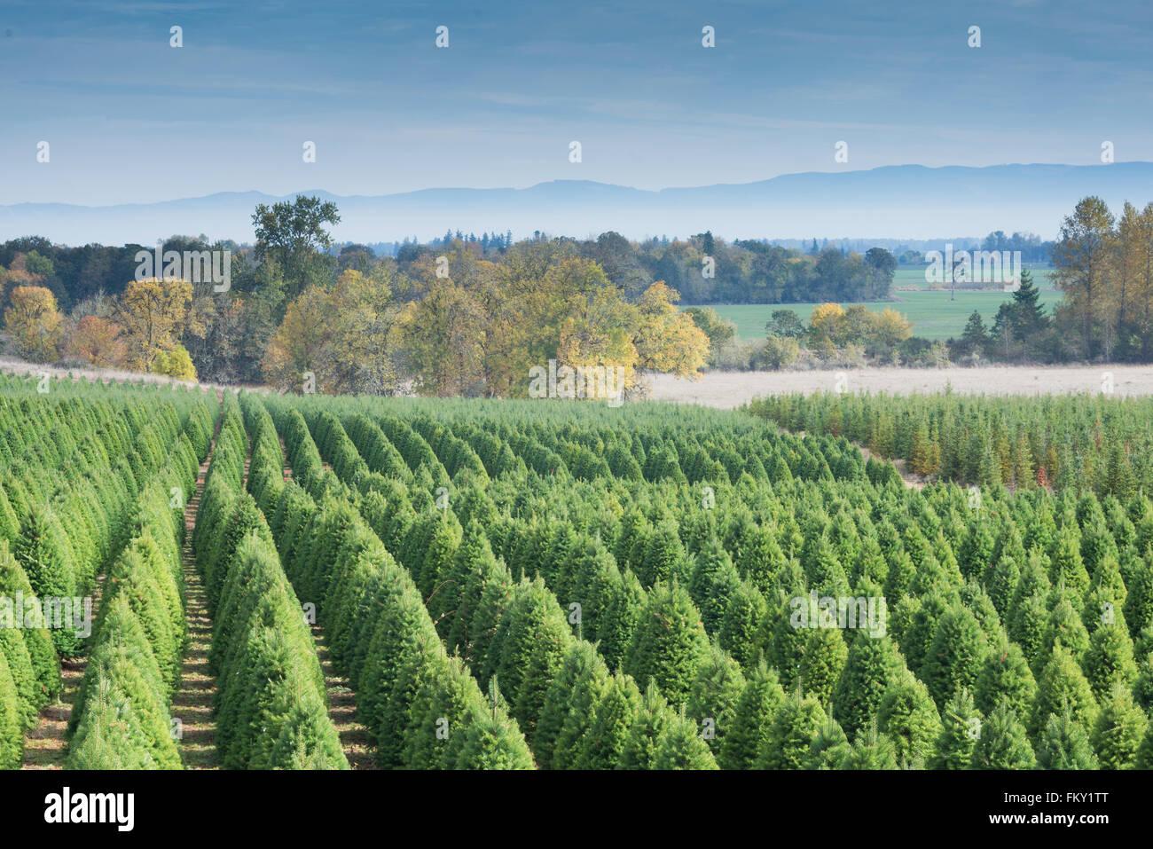 A Christmas Tree Farm In Late Autumn Near Eugene Oregon Stock Photo