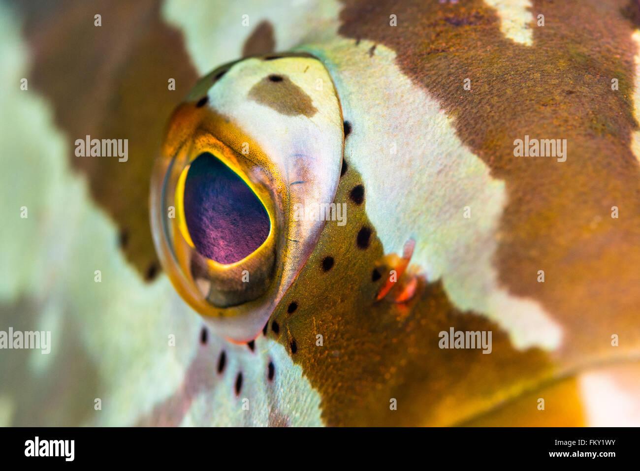 Nassau Grouper {Epinephelus striatus} allow you to get extremely close in the Bahamas. The reflective retina looks - Stock Image