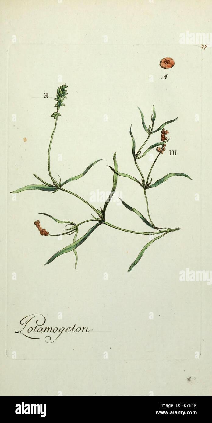 Flora Parisiensis (Plate 77) - Stock Image