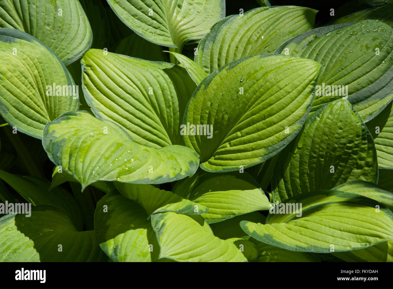 Hosta Leaves Stock Photos Hosta Leaves Stock Images Alamy