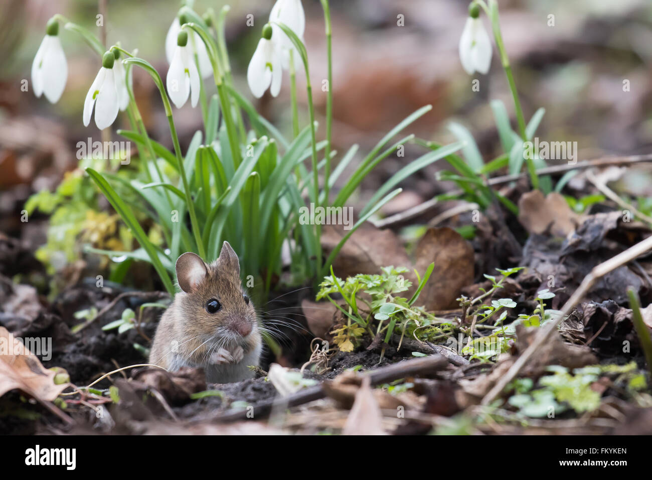 House mouse (Mus musculus) looking out of its burrow, Hesse, Germany - Stock Image