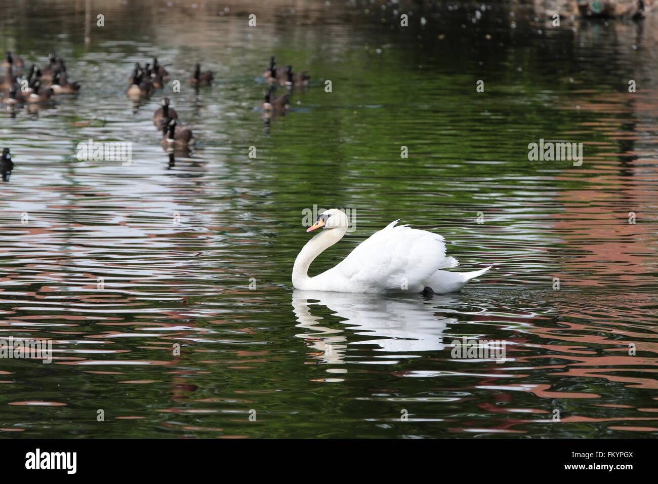 mute swan (Cygnus olor) on water - Stock Image