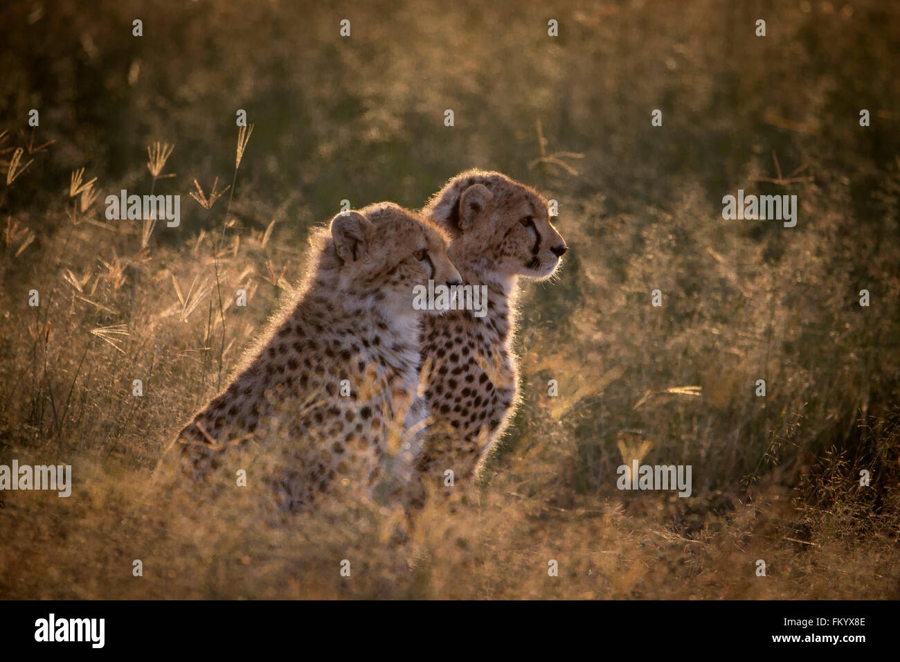 Juvenile Cheetah cubs backlit in the early morning sunlight - Stock Image