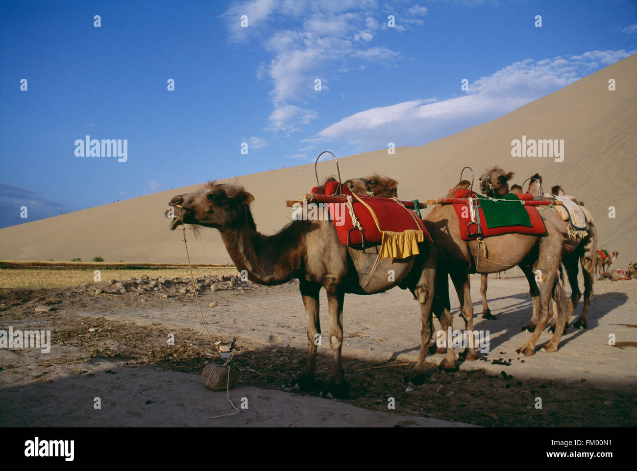 Camels Waiting for Tourists In a Desert, Dunhuang, Gansu, China - Stock Image