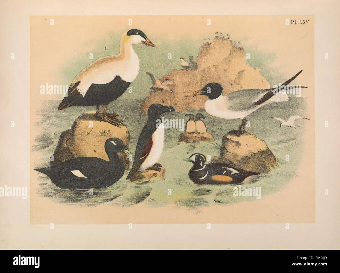 The birds of North America (PL. LXV) - Stock Image